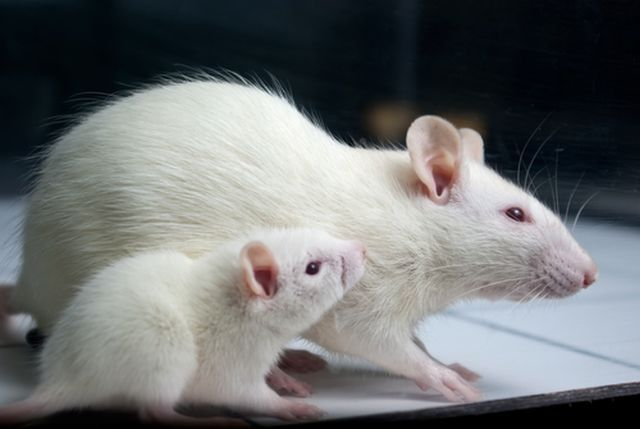 rat-research