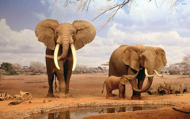 Wild Elephants in the African Savannah