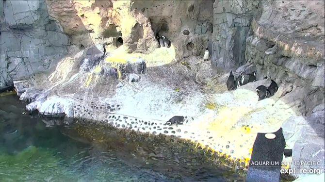 Аквариум Тихого океана Пингвин Cam