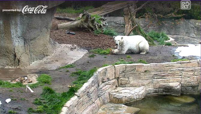 Зоопарк Сан-Диего Полярный Медведь Cam